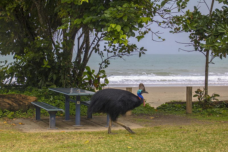A Southern Cassowary at Etty Bay